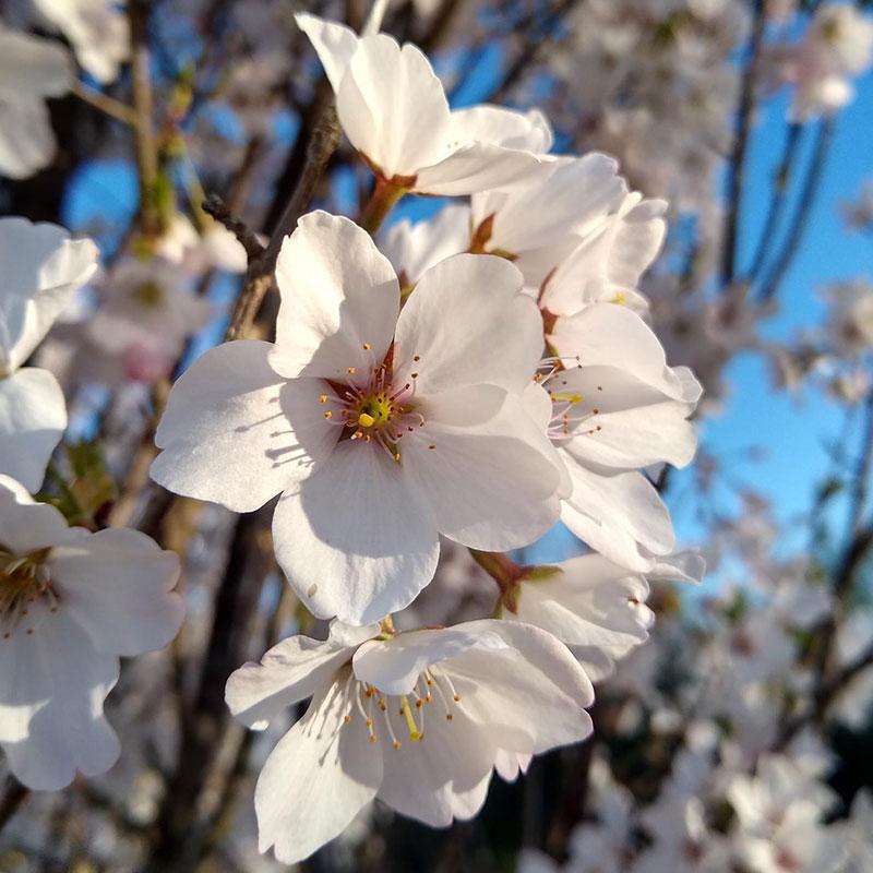 osage-park-cherryblossom